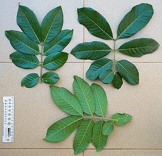 Ackee - Image: 2013.11 411 172 Akee,leaves(e s) Bobo Dioulasso,BF thu 14nov 2013 1025h