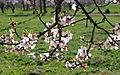 2013 Spring blossoms of Shahr-e Kord 09.jpg