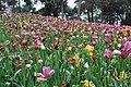 2014-04-04 石象湖 郁金香 liuzusai - panoramio (10).jpg
