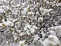 2014-06-17 09 11 07 Snow in June on immature Willow foliage and catkins at Roads End in Lamoille Canyon, Nevada.jpg