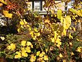 2014-10-30 10 05 44 Mulberry autumn foliage along Dunmore Avenue in Ewing, New Jersey.JPG