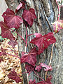 2014-12-20 13 04 41 Reddish-colored English Ivy leaves along Terrace Boulevard in Ewing, New Jersey.JPG