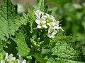 20150421Alliaria petiolata3.jpg