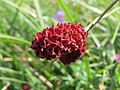 20150827Sanguisorba officinalis2.jpg
