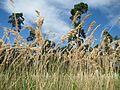 20160821Calamagrostis epigejos2.jpg
