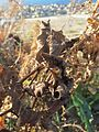 20161128Aristolochia clematitis1.jpg