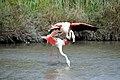 20170425 142 Camargue Flamingo (34304506042).jpg