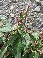20170730Persicaria lapathifolia4.jpg