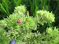 20170814Echium vulgare10.jpg