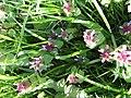 2018-05-07 Red Dead-nettle, (Lamium purpureum), Trimingham circular walk.jpg