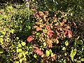 2018-09-30 16 08 42 Euonymus alatus foliage during early autumn along at walking trail in the Franklin Farm section of Oak Hill, Fairfax County, Virginia.jpg