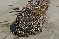 2020-05-07 — Pelagic Gooseneck Barnacle (Lepas anatifera) 3.jpg