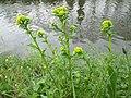 20200413Barbarea vulgaris3.jpg