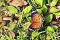 294黑端豹斑蝶2(郭月秀攝) (31610135192).jpg