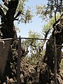 3500 year old Olive tree 2236 (508027626).jpg