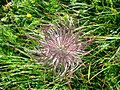 5696 - Schynige Platte - Flower.JPG