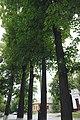68-104-5027, липа кримська.jpg