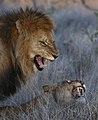 8835 S Africa lions JF.jpg