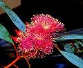 A@a flowers (eucalyptus) - panoramio (4).jpg
