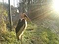 A Greater adjutant, Assam State Zoo.jpg