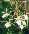 A and B Larsen orchids - Brassavola flagellaris 666-7z.jpg