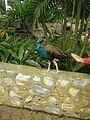 A bird at Bird Park KL.jpg