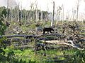 A black bear and cub travel.jpg