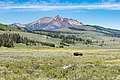 A bull bison walks across Swan Lake Flat on a summer day - Flickr - YellowstoneNPS.jpg