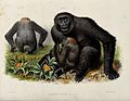 A female gorilla with her young. Coloured lithograph by J Wo Wellcome V0021469.jpg