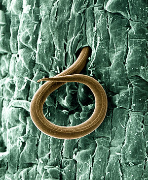 Root-knot nematode - Larva of root-knot nematode, Meloidogyne incognita, magnified 500×, shown here penetrating a tomato root