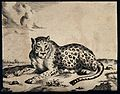 A leopard lying on the ground. Engraving by M De Bye after P Wellcome V0021500.jpg