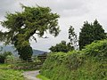 A quaint tree at Hafodol Newydd with a Hercules in the background - geograph.org.uk - 491085.jpg