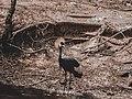 A specie of bird in Kano.jpg
