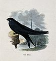 A swift (Cypselus apus). Coloured engraving by Whimper. Wellcome V0022226ER.jpg