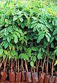 A tree nursery in the Democratic Republic of Congo (6312269653).jpg