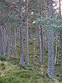 Abernethy Forest - geograph.org.uk - 612826.jpg
