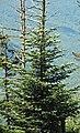 Abies fraseri (Fraser fir) (Clingmans Dome, Great Smoky Mountains, North Carolina, USA) 1 (36826653396).jpg
