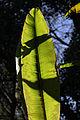 Abyssinian Banana Leaf (3385451142).jpg