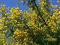 Acacia Africana en flor - panoramio.jpg
