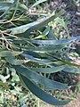Acacia implexa foliage.jpg