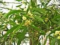 Acacia melanoxylon. Alcacia negra.jpg