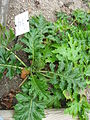 Acanthus mollis 03 by Line1.JPG
