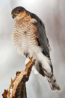 Adult male Eurasian sparrowhawk perching on branch