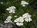 AchilleaMillefoliumBulgaria.jpg