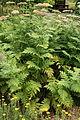 Achillea macrophylla - Botanischer Garten Mainz IMG 5615.JPG