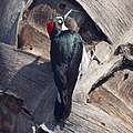 Acorn Woodpecker (16001927260).jpg