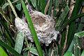 Acrocephalus scirpaceus 02 by-dpc.jpg