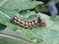 Acronicta rumicis (larva) - Knot grass (caterpillar) - Стрельчатка щавелевая (гусеница) (41053606571).jpg