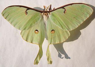 Actias luna - Female