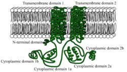 Adenylylcyclasen